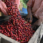 guatemala-coffee-producers-raw-beans