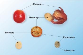 How to Select a Good Cascara?