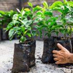Coffee plant seedlings