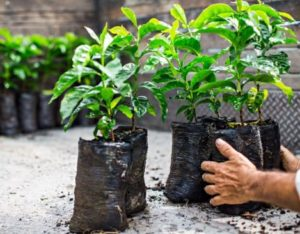 Coffee-Seedlings-300x234
