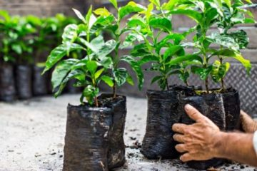 Coffee plant seedlings