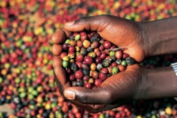 Ethiopian Coffee and the Effects Due To Climate Change